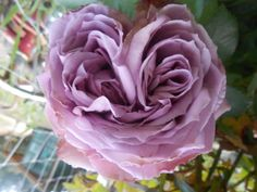 Two centered heart shape rose.  I was so surprised to see  this growing in our garden.