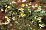 Chamomile - A Delicate but Tough Herb for the Garden and the Kitchen - my favorite herbal tea!!! plan on planting a large patch of it!