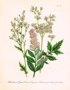 """Louden's Wild Flowers - """"COMMON DROPWORT"""" - Hand Colored Lithograph - 1846"""
