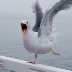 Seagull is a Funny and cute bird, we are providing here some of Funny Seagulls latest photos-images. Funny Birds, Funny Animals, Cute Animals, Weird Birds, Bird Pictures, Animal Pictures, Herring Gull, Image Nature, Watercolor Bird
