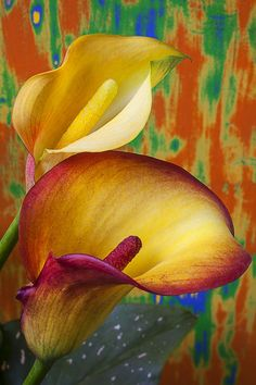 Yellow Red Calla Lilies Photograph - Yellow Red Calla Lilies Fine Art Print
