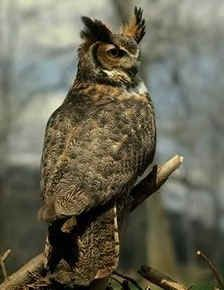 Great Horned Owl Unit    http://www.kidzone.ws/animals/birds/great_horned_owl.htm
