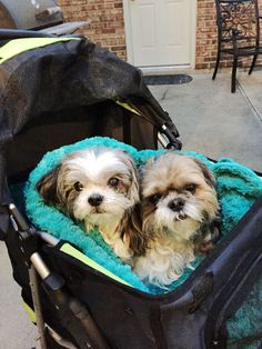 Shih Tzus out for a stroll