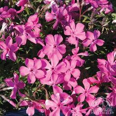 There are many selections of Moss Phlox, all of them forming a low mound or cushion smothered by tiny flowers in late spring. This variety has dark green foliage with a showy display of vibrant rose-pink flowers. Moss Phlox, Tiny Flowers, Plants, Foliage, Pink Roses, Pink Flowers, Flowers, Garden Plants, Phlox Perennial