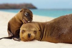 Baby sea lion and mother