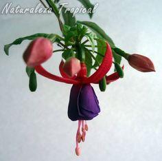 Aprende a cuidar tus Pendientes de la Reina o Fucsias, género Fuchsia