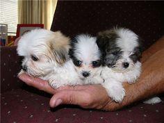 maltese shih tzu puppies for sale   Zoe Fans Blog