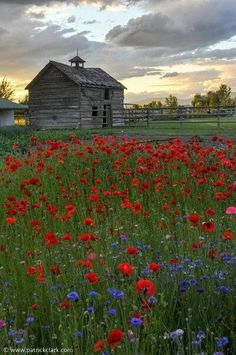 Picture of a weathered old barn with a field of wildflowers (poppies, etc.) in the foreground. There are many kinds of poppy flowers; here's a little taste of what this genus of plants offers: http://landscaping.about.com/od/perennialflowers/tp/Poppy-Plants-Types-Hard-to-Grow-Easy-to-Grow-and-Too-Easy-to-Grow.htm