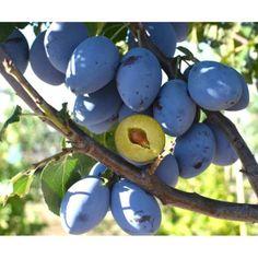 POMI FRUCTIFERI Columnar Trees, Plum Tree, Prunus, Garden Trees, Trees And Shrubs, Fruit Trees, Easter Eggs, Peach, Violet