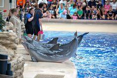 Dolphin Show, Brookfield Zoo.