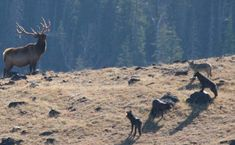 Studies of wolf-elk interactions continue in Yellowstone | Laramie | laramieboomerang.com
