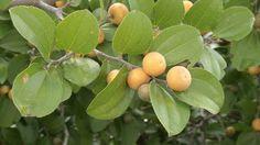 Juá (Ziziphus joazeiro Mart., Rhamnaceae) Origem: Brasil