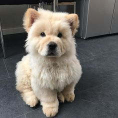 Meet Ghost, Chow Chow 📍 Warwickshire, UK Ghost likes to go for long walks in the park where he can meet new friends. He loves cuddles and… Fluffy Dogs, Fluffy Animals, Animals And Pets, Cute Dogs And Puppies, Baby Dogs, Doggies, Cockapoo Puppies, Puppies Puppies, Maltese Dogs