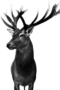 "Wandbild ""Hirsch"", von Bastian Kienitz, printed auf AluDibond, Fotografie, 40 x 60 cm, von unserem Kuenstler: Bastian Kienitz Beautiful Creatures, Animals Beautiful, Animals And Pets, Cute Animals, Deer Pictures, Deer Tattoo, Deer Art, Tier Fotos, Animal Sketches"