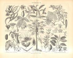 Items similar to Medicinal Plants Vintage Botanical Print Kitchen Decor Herbalism Engraving, Black and White on Etsy Vintage Botanical Prints, Antique Prints, Vintage Prints, Vintage Style, Lotus, Impressions Botaniques, African Map, Tree Wall Art, Plant Illustration