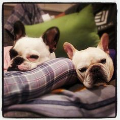 Hello! We're Tofu and Shay and we love giving lots of wet kisses! Adorable French Bulldogs