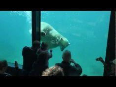 Vicks is vandaag vertrokken naar Mulhouse waar hij weer wordt verenigd met zijn vriendin Sesi. In Mulhouse staat Vicks een verassing te wachten zijn maatje Sesi zal hem waarschijnlijk met liefde ontvangen hahahaha..En vergeet hij gauw zijn 2e verhuizing....wat ik persoonlijk wel sneu vind. Speeltijd voor ijsbeertje Vicks in Blijdorp - Playtime polar bear Vicks in Rotterdam Zoo - YouTube