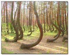 These trees can be found in the so-called Crooked Forest, in Poland, all of their trunks inexplicably bowing to the north. Adding to the weirdness, nobody knows how they got that way. Experts are certain that some human intervention had to be involved, but when World War II happened, the reasons for shaping the trees that way were lost. While some of the more boring theories involve creating bent wood for the ribs of boat hulls,