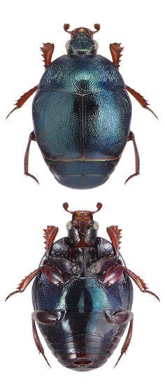 Malagasyprinus caeruleatus