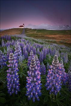 ~~[ ... wildflowers ] Lupin fields at sunrise, Iceland | by D-P Photography~~