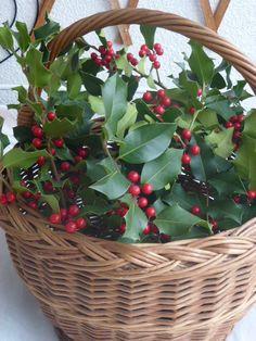 Christmas Holly (Illex aquifolium)
