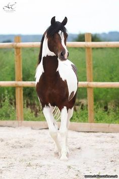 """""""Fames Dakota"""" (Stallion) When I was a child, there was a pinto named Windsong, I loved, this horse is near identical...I still want him!"""