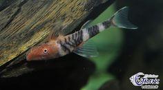Oto. sp. Tigré Orange (Nannoptopoma)