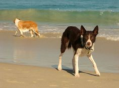 Dogs on beach Australian Kelpie Border Collie cross