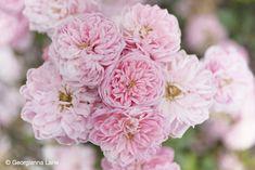 Roses, Coloma Rose Garden by Georgianna Lane
