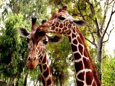 Love Photo by Ehud Bino -- National Geographic Your Shot #giraffes #love #cute