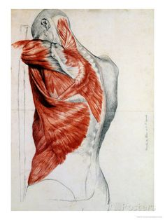 Human Anatomy, Muscles of the Torso and Shoulder Gicléedruk van Pierre Jean David d'Angers bij AllPosters.nl