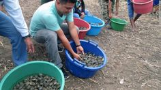 Thousands of baby turtles released for conservation effort in Peru