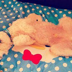 #dog #犬 #kawaii #かわいい #cute #トイプードル #toypoodles #poodle #toy #white #cream #kiki #boy #Japan #Japanese #ペット #pet #クリーム #愛犬 #キキ #KIKI #familyphoto #家族 #だいすき #loveyourself #lovely #toypoodle #sleep