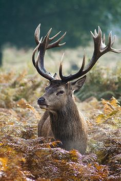 Deer Photos, Deer Pictures, Animal Pictures, Nature Animals, Animals And Pets, Cute Animals, Wild Animals, Hirsch Tattoos, Beautiful Creatures