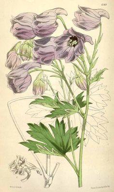 Výsledek obrázku pro Gentiana kurroo