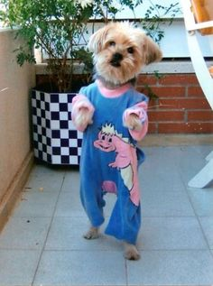 Does your dog wear pajamas to sleep? And can he walk like a human?