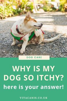 5 Top Causes of Your Dog's Itchy Skin and How To Treat It | Dog Health Tips & Dog Care - Are you a dog owner concerned about your dog's scratching? Wondering what is causing your dog's itching? Hot spots, allergies, fleas... Click here to know the cause so you can relieve the symptoms and restore your dog's skin and coat. Click here for professional advice! Vita Canis | dog skin problems | dog skin allergies | dog skin itchy | dog skin care | dry dog skin  | dog skin remedies #dogcare #dogs
