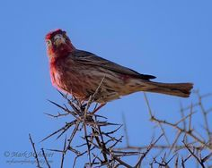 """""""Male House Finch h27"""" photography by Mark Myhaver  Oro Valley Arizona  http://ift.tt/1USEsQO  Copyright Mark E Myhaver - All rights reserved. Use without permission prohibited by law and prevented by your integrity. #myhaverphotography #explore #southwest #arizona #desertlife #sonorandesert #finch #bird #nature #acrylic #prints"""