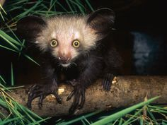 The Aye-Aye & The Platypus | dangerously bored