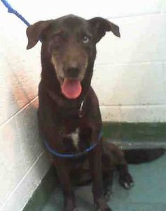 ZOE (A0754792) I am a spayed female black and white Labrador Retriever and Siberian Husky. The shelter staff think I am about 9 years old and I weigh 37 pounds. I was found as a stray and I may be available for adoption on 04/14/2015. — hier: Miami Dade County Animal Services. https://www.facebook.com/urgentdogsofmiami/photos/pb.191859757515102.-2207520000.1428529286./959298054104598/?type=3&theater