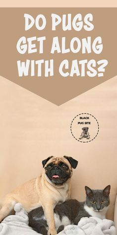 Do Pugs get along with cats and other animals? What you need to know if you before about this breed if you already have a pet. Black Pug Puppies, English Bulldog Puppies, Lab Puppies, Terrier Puppies, English Bulldogs, French Bulldogs, Boston Terrier, Pug Facts, Old Pug