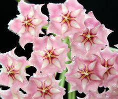 Hoya pubicalyx 'Pink Dragon' [Family: Apocyanaceae]