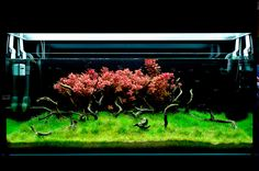 Massimo Faberi: Red Cloud, 540lAmazing setup with a bright red group of rotala macrandra