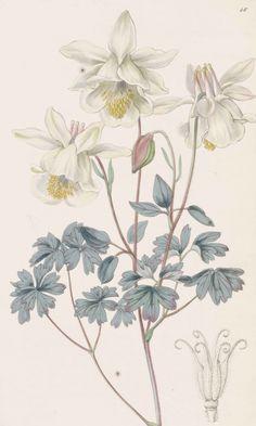 Sweet-Scented Columbine, Aquilegia fragrans, circa 1840