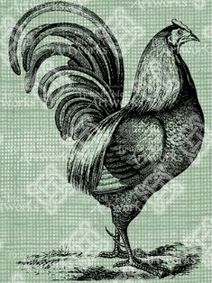 Sketch of a Rooster, Farm Animal Drawing  Vintage illustration/drawing. Circa 1900. Beautiful!  0886    Digital Image Download in 8.5x11
