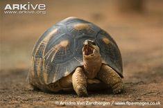 Radiated tortoise photos - Astrochelys radiata | ARKive