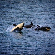 «photo by @susanseubert // A group of killer whales,  Orcinus orca, near the southern tip of Vancouver Island, British Columbia, Canada. Photographed…»