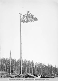 A view of a tree top in the process of falling to the ground. The tree has been identified a being 260 feet tall. A man is visible harnessed...