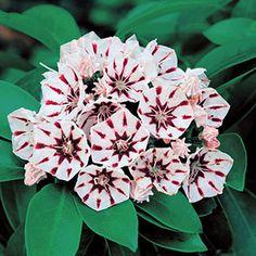Evergreen Shrubs, Flowering Shrubs, Deciduous Trees, Shrubs For Landscaping, Kalmia Latifolia, Planting For Kids, Arrow Nursery, Acid Loving Plants, Gardens