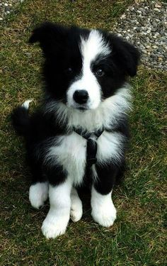 The cutest border collie puppy! Doesn't even look real - looks like an adorable little stuffed toy! #bordercollie
